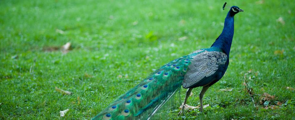 slide-peacock